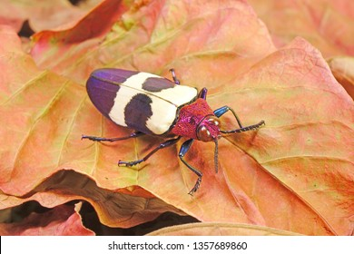 Beetles : Banded Jewel Beetle (Chrysochroa buqueti rugicollis) or Red speckled beetle, is a species of beetle in Buprestidae family. Selective focus.