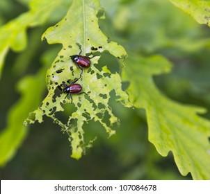 beetles eating oak leaf