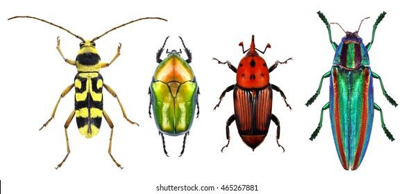 Beetles - Flower longhorn beetle, flower chafer, red palm weevil and jewel beetle (metallic wood-boring beetle) isolated on a white background. Macro