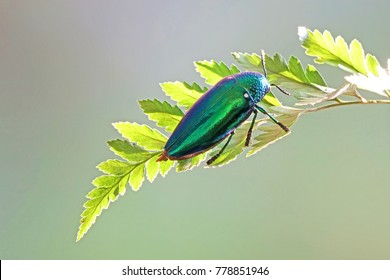 Beetles / Insects / Bugs : Jewel beetles or metallic wood-boring beetles : World's most beautiful insects with their iridescent colors and brilliant metallic colors. Beetles in nature, selective focus