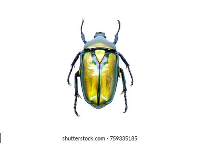 Beetles / Insects : Gold flower beetle ( Rhomborhina resplenders) Selective focus, isolated on white background