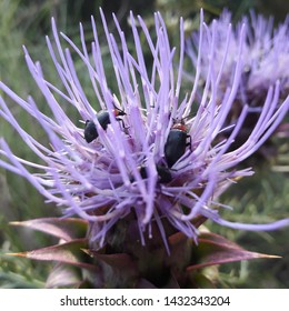 Beetles on Cardoon flower in Portuguese forest