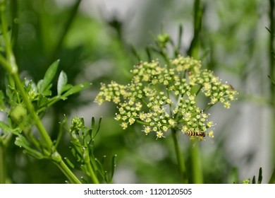 Beetles on parsley branch and flower with shadows in the background