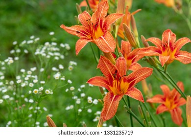 Beetles pollinate orange daylilies on the flowerbed