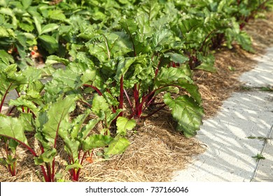 Beetroot grows in a bed under mulch from dry grass. Organic farming on its own plot.