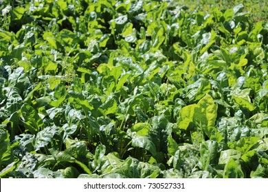 Beetroot grows in the suburban area. beet leaves closeup