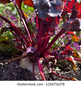 The beetroot is the taproot portion of the beet plant, growing in the sunny vegetable garden. Permaculture style, known as the beet, also table beet.