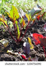 The beetroot is the taproot portion of the beet plant, growing in the sunny vegetable garden. Permaculture style, known as the beet, also table beet, garden beet.