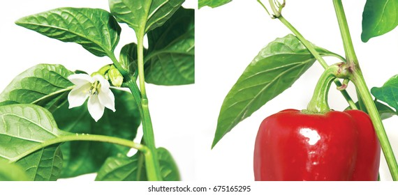 before and after, flower and pepper paprika isolated on white ,