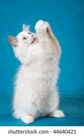 Begging Bluepoint Ragdoll standing up, on blue background fabric