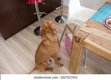 Begging dog in kitchen
