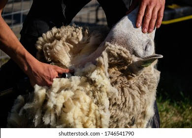 The begin of shaving or shearing a adult sheep for wool
