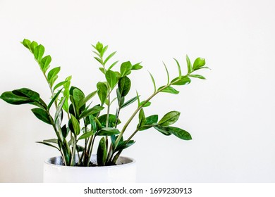 Beginner Easy to Grow Large Indoor ZZ Plant Houseplant in White Planter with White Wall Background