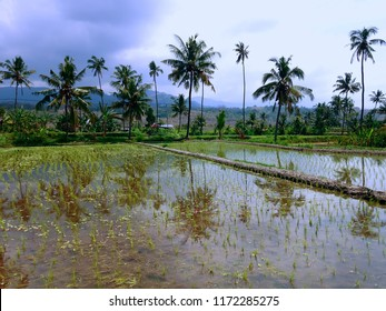 The Beginning Of Paddy Plants Planting In The Rice Fields Ringdikit Village, North Bali, Indonesia