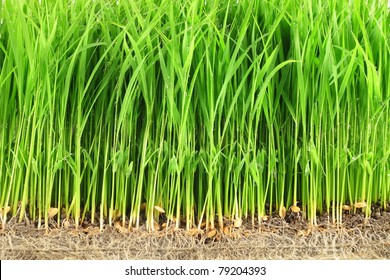 The beginning of a rice plant
