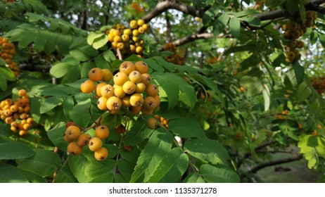 the beginning of the ripening of orange mountain ash
