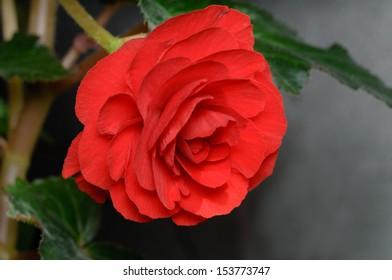 """Begonia """"Roseform Red"""""""