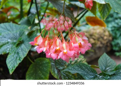 Begonia corallina plant with pink flowers