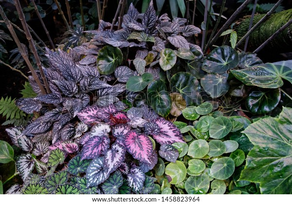 Begonia Deliciosa Popular Home Plant Bright Stock Photo Edit Now