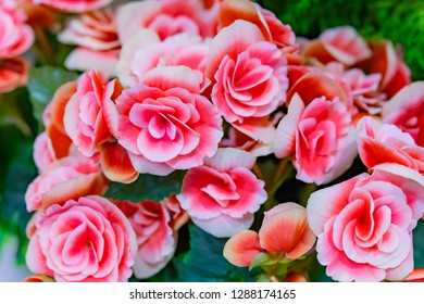 Begonia of the double-blossom