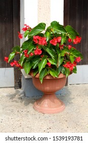 Begonia Dragon wing red plant with cascades of dangling clusters of scarlet red flowers surrounded with lush shiny dark green leaves planted in light brown flower pot in front of family house on warm