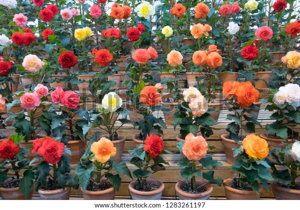 Begonia Garden Nabana No Sato Nagashima Stock Photo Edit Now