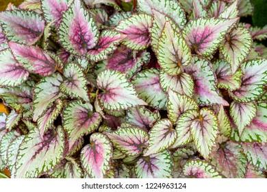 Begonia leaves  rex-cultorum