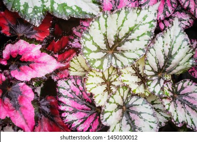 Begonia leaves rex-cultorum in a garden. Begonia plant leaves spiral heart shaped colorful background.
