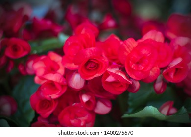 begonia pink red flowers floral plant bloom gardening