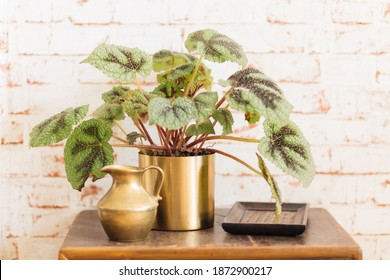 Begonia Rex Iron Cross in golden plant pot