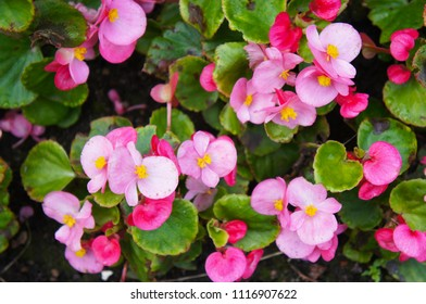 Begonia semperflorens pink and red flowers