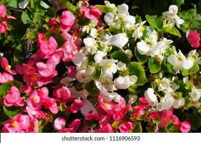 Begonia semperflorens pink and white flowers with green