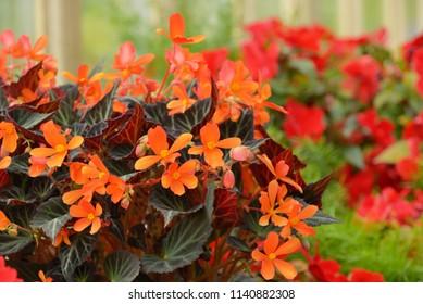 Begonias flowers in summer garden
