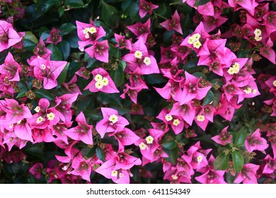begonvil pink flowers on Kemer summer street wall