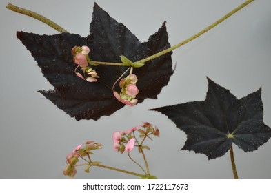 Begonya with black leaves and pink flowers