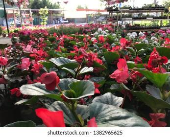 Begonya plant beautiful colorfol flower