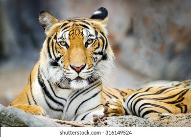 Behavior of the tiger.