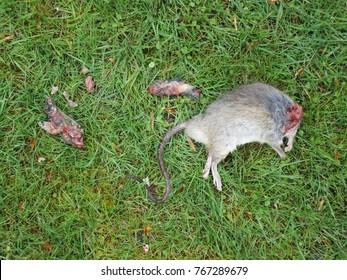 beheaded dead mouse by cat lying on green lawn; a gruesome find in my garden