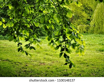 Behind a branch of a beech tree with fresh green spring leaves
