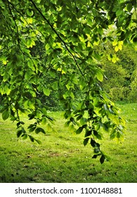 Behind a branch of a beech tree with new green spring leaves