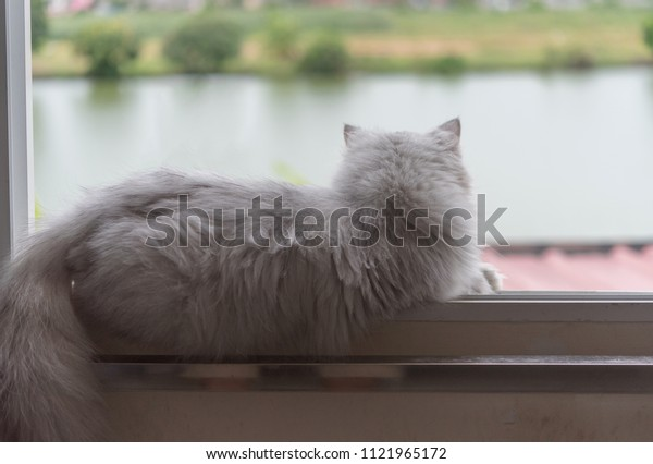 Behind the Persian cat , persian cat sitting on the window  and looking outside.