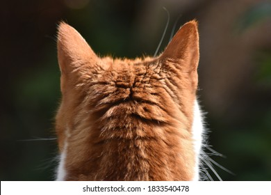 Behind view of ginger and white cat, ears perked.