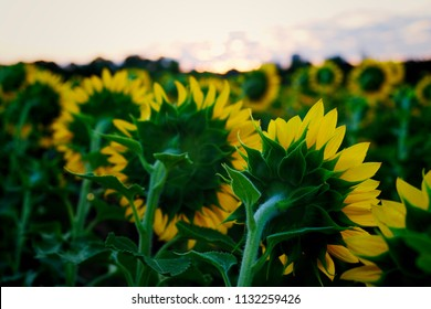 From behind view of the sunflowers which are all facing the rising sun at Dorothea Dix Park in Raleigh North Carolina