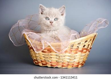 beige british cat kitten in a basket