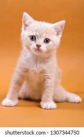 Beige British cat kitten on an orange background