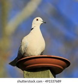 Beige coloured dove sitting on a terracotta coloured saucer, Keri Keri, New Zealand