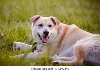Beige dog. Dog on a grass. Not purebred dog. Doggie on walk. The beige large not purebred mongrel lies on a grass.