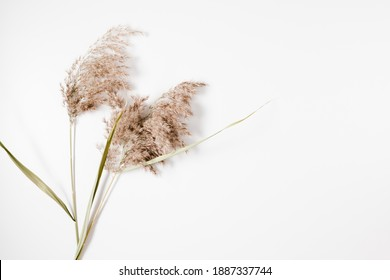 Beige dry flowers, reeds branches bouquet on white background, floral design. Flat lay, top view, copy space
