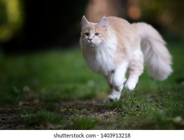 beige fawn maine coon cat running over the lawn in the garden at high speed hunting