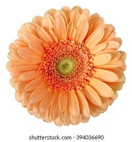 beige gerbera on a white background